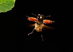飛翔するミヤマクワガタ