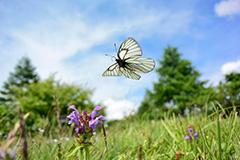 飛翔するミヤマシロチョウ