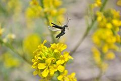 飛翔するモモブトカミキリモドキ