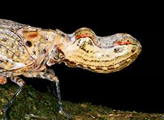 ユカタンビワハゴロモ