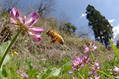 飛翔するセイヨウミツバチ