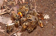 争うセイヨウミツバチ