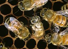 羽化をするセイヨウミツバチ