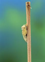 羽化をするモンシロチョウ