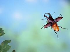 飛翔するノコギリクワガタ
