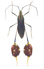 フタスジスネビロヘリカメムシ