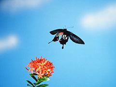 飛翔するホソバジャコウアゲハ