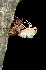 羽化をするアブラゼミ