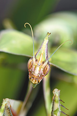 ニセハナマオウカマキリ