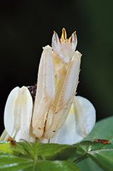 ハナカマキリ