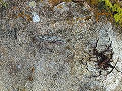 キノハダカマキリ