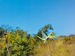 飛翔するウスバカマキリ
