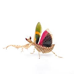 トガリメニシキカマキリ