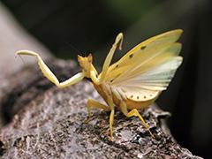 ヒメハナカマキリ