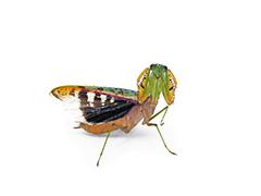 アフリカマルムネカマキリ