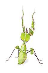 ニセハナマオウカマキリの雌