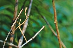 アフリカエダカマキリ