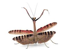 カメルーンアフリカクビナガカマキリ