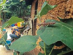 アエルギノサアフリカカマキリ