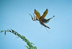 飛翔するナンベイカレハカマキリ