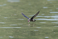 飛翔するハリオアマツバメ