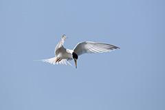 飛翔するコアジサシ