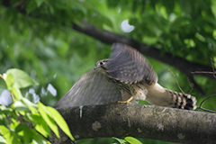 チョウゲンボウの幼鳥