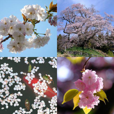 おすすめのテーマ『さくら咲く』